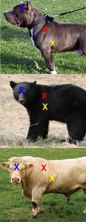 """Cattle, bear, pit bull: Yellow = heart/lung shot. Red = high shoulder shot. Blue = brain shot. Cattle is representative of most hoofed animals. When a bull makes direct eye contact — worse yet if he kicks dirt with a front hoof — prepare to repel boarders! Bear and big cats have their vital organs further forward in the body than hoofed game. A crouching cat is a difficult shot because their shoulders/collar bones """"float"""" allowing them to get very low before their attack. (PoliceOne Image)"""