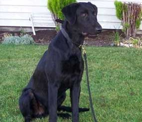 2-year-old black Lab Trax died Saturday of food poisoning. (Richmond Police Image)