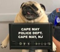 Police take 'pug shot' of dog on the run to find owners