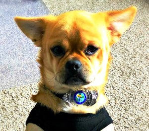 Mugshot is believed to be a possible Chihuahua, Pug, Corgi, Pomeranian mix. (Photo/Lynn Haven PD)