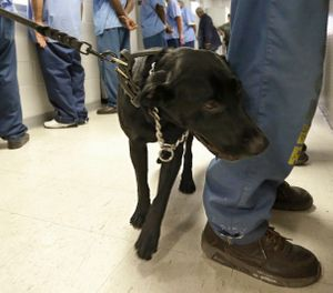 In this May 20, 2015 file photo, Bentley, a 3-year-old Labrador retriever, checks an inmate for traces of narcotics at California State Prison, Solano, in Vacaville, Calif. The federal receiver who controls medical care in California state prisons is seeking up to a quarter-billion dollars annually to provide medication designed to stem a record increase in fatal drug overdoses among inmates. (AP Photo/Rich Pedroncelli, file)