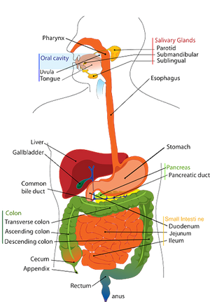 Due to the large number of structures involved, numerous medical conditions can arise from the GI system. (Picture/Pixaby)
