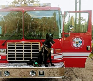 Jasper is a 1-year-old ( approximately as he was a rescue) German Shepherd who will be trained for live air scent tracking. (Photo/ Bryan County Emergency Services)