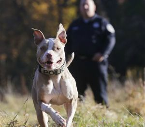 Kiah will be one of just a few pit bulls to serve as a police dog. (AP Image)