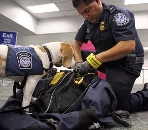 U.S. Customs and Border Patrol agriculture specialist Alberto Gonzalez and his K-9 partner Baymon find a bag of prohibited pieces of cut sugar cane in a duffel bag at Fort Lauderdale-Hollywood International Airport on Wednesday, Feb. 15, 2017. (Amy Beth Bennett/Sun Sentinel/TNS)