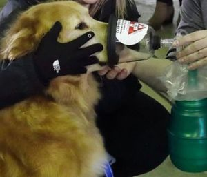 An oxygen mask is demonstrated on Smokey, a golden retriever. (AP Photo/Carlos Osorio)