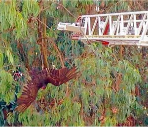 A turkey vulture suspended upside down 35 feet in the air by fishing wire. (Photo/San Rafael Fire Department)