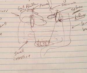 My sketch of the abdomen. At least two organs are in the wrong location. Do you know which two? (Image Greg Friese)