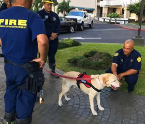 Kaimi, an arson dog trained to sniff out ignitable liquids, stands outside a Honolulu high-rise apartment building. (AP Photo/Jennifer Sinco Kelleher)