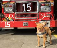 FDNY adopts rescued pit bull as firehouse dog
