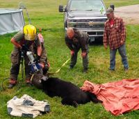 Firefighters extricate bear with head stuck in milk can