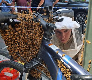 In this Aug. 4, 2015 photo provided by the New York City Police Department, Detective Daniel Higgins begins the process of removing bees enveloping the front of a bicycle parked in New York's Midtown Manhattan neighborhood. (NYPD/@nypdbees via AP)