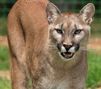 9 people injured in Calif. crash caused by mountain lion