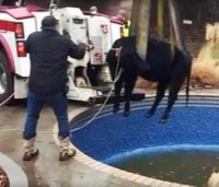 Okla. firefighters rescue cow from swimming pool