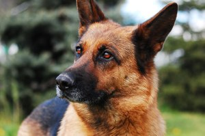 Help your K-9 partner enjoy a long, healthy career and retirement with regular veterinary care, a good diet and special protection against threats like armed suspects and narcotics. (image/Pixabay)