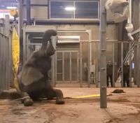 Video: Firefighters, workers help aging elephant stand up again
