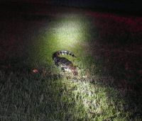 Ga. firefighters rescue gator from roadway
