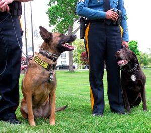 This May 23, 2018, photo shows Luna, a drug-sniffing dog, left, and Hemi, an explosives-sniffing dog, in Galloway N.J., after they won a national competition for police dogs trained to sniff out dangerous or illicit substances. (AP Photo/Wayne Parry)