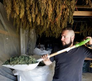 Trevor Eubanks, plant manager for Big Top Farms, shovels dried hemp as branches hang drying in barn rafters overhead at their production facility near Sisters, Ore. (AP Photo/Don Ryan)