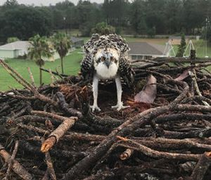 Rescued osprey (Photo/Polk County Firefighters)