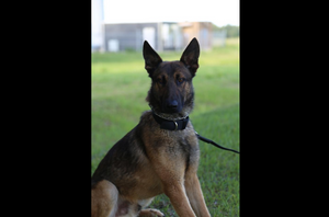 The Polk County Sheriff's Office says the K-9 deputy had been feeding the dog, Recon, for about a week while the dog's normal handler was out of town. (Photo/Polk County Sheriff's Office)