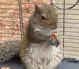 In this June 2019 file photo released by the Limestone County Sheriff's Office, a squirrel is shown in a cage, in Ala. (Limestone County Sheriff's Office via AP, File)
