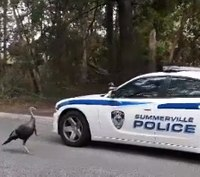 Video: Angry turkey chases SC cops
