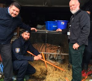 This undated photo shows a tiger in Houston. Houston police say some people who went into an abandoned home to smoke marijuana found a caged tiger. They called the city on Monday, Feb. 11, 2019, and the major offender animal cruelty unit and animal shelter volunteers arrived on the scene. (Lara Cottingham/Administration & Regulatory Affairs Department via AP)