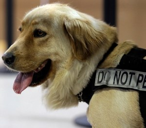 "Bella, a bomb-sniffing dog, wears a ""Do Not Pet"" harness as she goes through drills in a makeshift airport during drills at Lackland Air Force Base training facility in Texas. Short-staffed and often criticized, the TSA aims to improve training for airport screeners. (AP Photo/Eric Gay)"