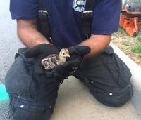 NC firefighters rescue baby turkeys from drain