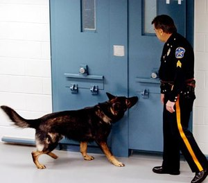 Bergen County Sheriff officer Sgt. John Davis and Udo try to find drugs in the county jail in Hackensack, New Jersey, during a training exercise. (Photo/James W. Anness/The Record/MCT)