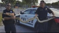 Miami firefighters capture massive python