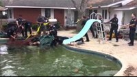 Firefighters rescue bull from backyard pool